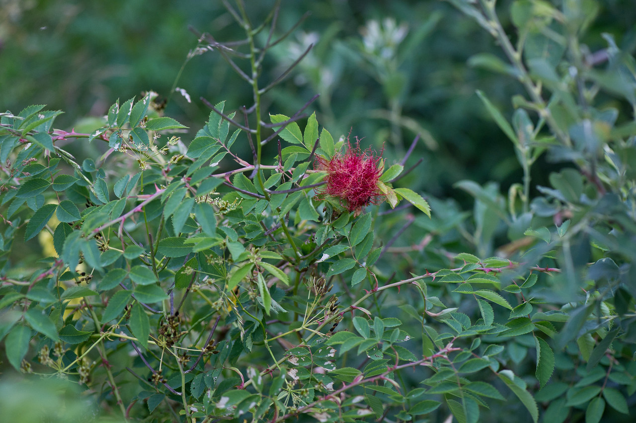 Diplolepis rosae, Åsgårdstrand
