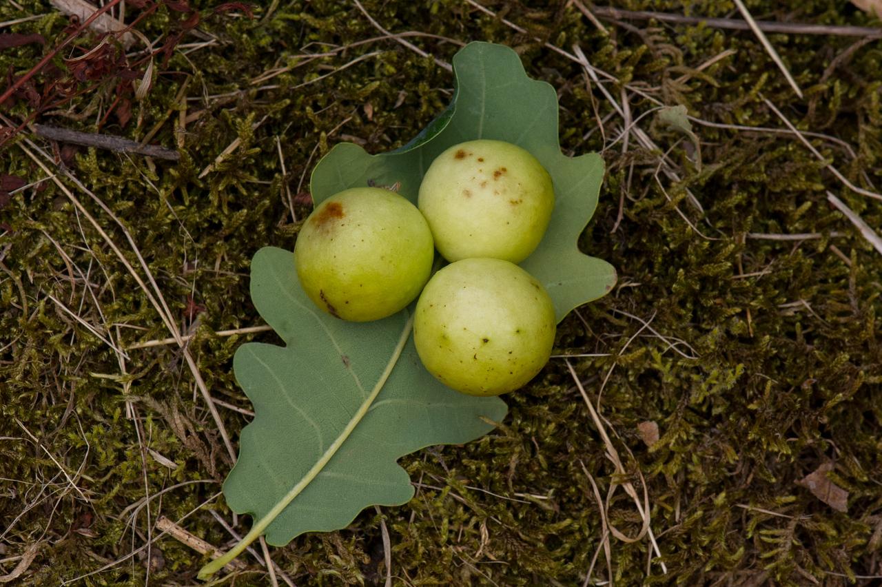 Cynips quercusfolii