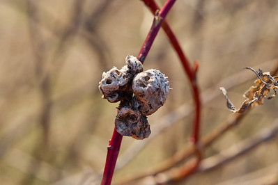 Diplolepis mayrii, trondheim