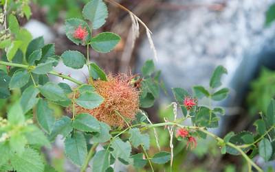 Rosegallveps, Diplolepis rosae. Kragerø, 22.august 2009