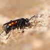 Anoplius viaticus<br /> Asaktoppen 30.04.2009