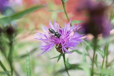 Bladskjærerbie (Megachile sp.) på knoppurt hymcourse