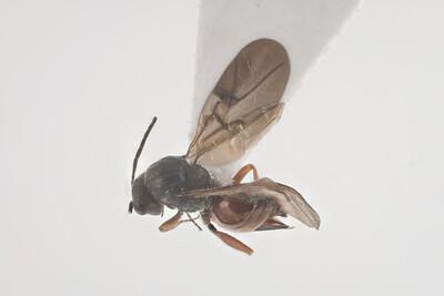 Diplolepis mayri