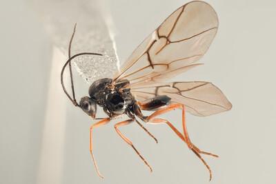 Diplolepis eglanteriae male Malvik