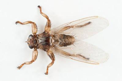 Hjortelusflue, Lipoptena cervi