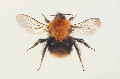 Bombus pascorum -dronning