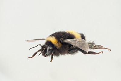Bombus cryptarum fra siden. Legg merke til den sorte kilen som går inn i det gule båndet foran.