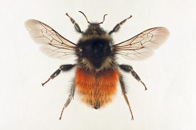 Bombus lapponicus -dronning