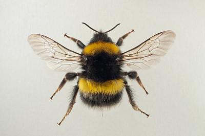 Bombus lucorum -dronning