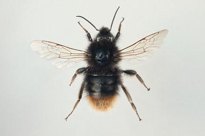Bombus balteatus -hann (melanistisk)