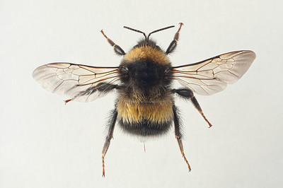 Bombus sporadicus -dronning