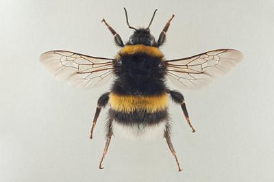 Bombus cryptarum -dronning