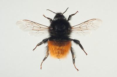 Bombus monticola/lapponicus -