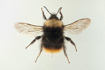 Bombus pratorum -dronning