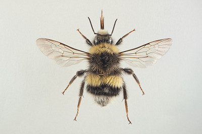 Bombus lucorum -hann (grå variant)