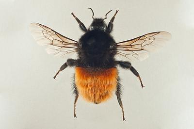 Bombus alpinus -dronning