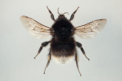 Bombus balteatus -dronning (melanistisk)