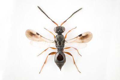 Megaspilus dux