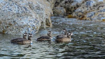 Harlequin ducks, females