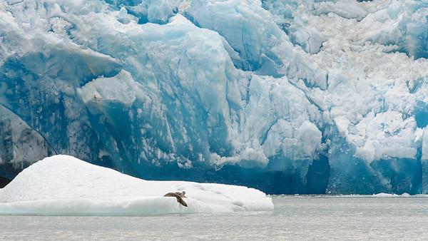Harbour seals, South Sawyer Glacier