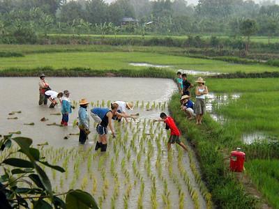 Rice_planting_rain