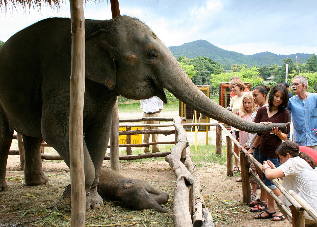 Mother elephant at the Thai Elephant Conservation Center in Lampang