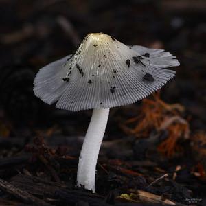 Coprinus lagopus sp. - Hazepootje