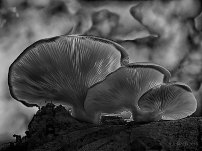 Pleurotus_ostreatus_Gewone_oesterzwamprset15_13807d_HDRc_JD_LEO1018AG