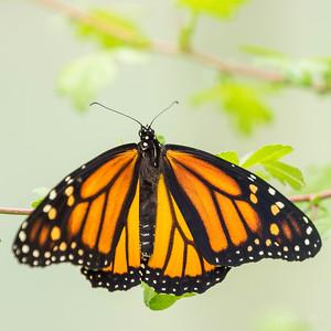 Monarchvlinder_JC10922c_JD_ZLB0717VL