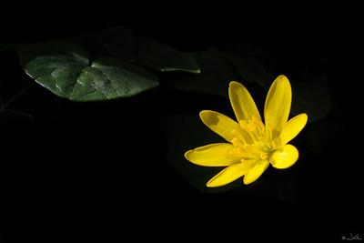 Ranunculus_ficaria_Speenkruid_IFBLe73533_9519a_JD_KAN0410PL