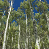 I'm not sure I've ever been around so many super tall aspens before.