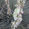 Yucca flowers.