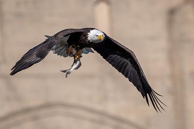 Bald Eagle   Conowingo, MD
