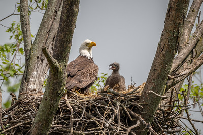 Bald Eagle Nest  White Horse, PA