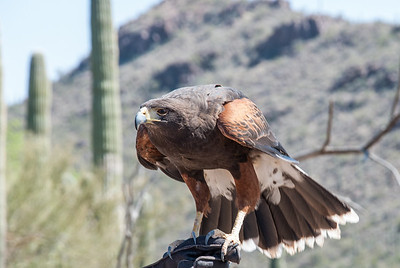 "A Harris' Hawk perches on a trainer's gloved hand.  The ""Raptor Free Flight"" program runs twice daily below Cat Canyon in the Arizona-Sonora Desert Museum.  These wild, untethered birds fly from the trainer to nearby perches on saguaro cacti or dead trees to accept a morsel of food.  They fly a foot or two over the heads of museum visitors gathered to observe these fantastic predators."