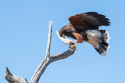 "A Harris' Hawk perches on a tree limb 15 feet off the path. The ""Raptor Free Flight"" program runs twice daily below Cat Canyon in the Arizona-Sonora Desert Museum. These wild, untethered birds fly from the trainer to nearby perches on saguaro cacti or dead trees to accept a morsel of food. They fly a foot or two over the heads of museum visitors gathered to observe these fantastic predators."