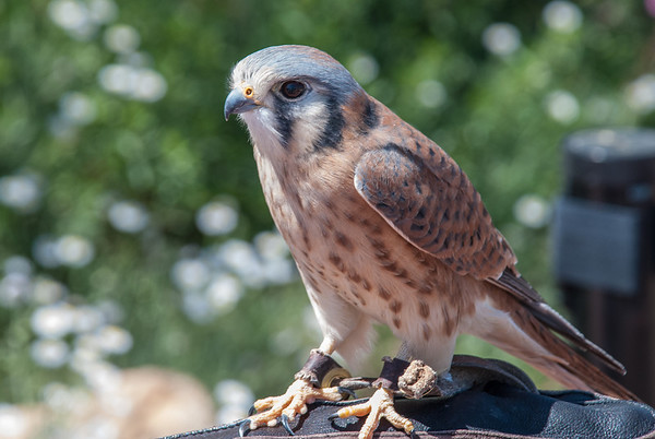 An American Kestrel perches on a trainer's gloved hand at the Arizona-Sonora Desert Museum in Tucson, Arizona.