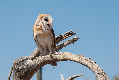 "A Common Barn Owl perches on a tree limb 15 feet off the trail. The ""Raptor Free Flight"" program runs twice daily below Cat Canyon in the Arizona-Sonora Desert Museum. These wild, untethered birds fly from the trainer to nearby perches on saguaro cacti or dead trees to accept a morsel of food. They fly a foot or two over the heads of museum visitors gathered to observe these fantastic predators."