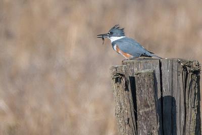 Belted Kingfisher  Brubaker Run Lancaster County