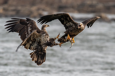 Bald Eagle Food Fight  Conowingo, MD