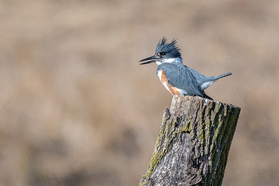 Belted Kingfisher  Brubaker Run Lancaster County