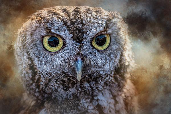 Eastern Screech Owl  Conowingo, MD