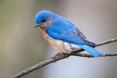 Bluebird  Middle Creek Wildlife Management Area  Stevens, PA