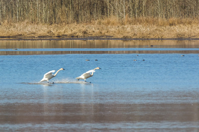 Tundra Swans come in for a landing on Shearness Pool.  Bombay Hook National Wildlife Refuge  Smyrna, Delaware