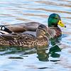 Mallard drake and hen<br /> <br /> Bombay Hook National Wildlife Refuge<br /> <br /> Smyrna, Delaware