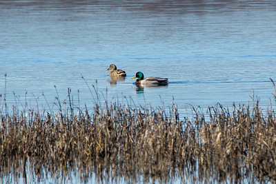 Migratory ducks find refuge in Shearness Pool.  Bombay Hook National Wildlife Refuge  Smyrna, Delaware