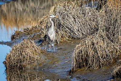 Blue Heron along Bear Swamp Trail  Bombay Hook National Wildlife Refuge  Smyrna, Delaware