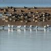 Shearness Pool<br /> <br /> Bombay Hook National Wildlife Refuge<br /> <br /> Smyrna, Delaware
