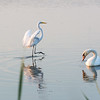 Great Egret lands beside at Mute Swan<br /> <br /> Cape May Point State Park<br /> <br /> Cape May, NJ