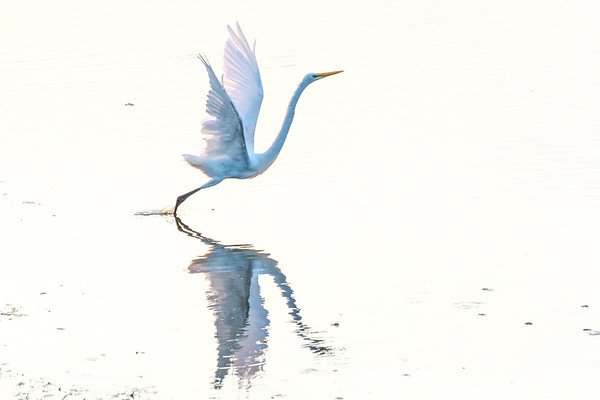 Great Egret   A Great Egret takes to flight at Cape May Point State Park  Cape May, NJ